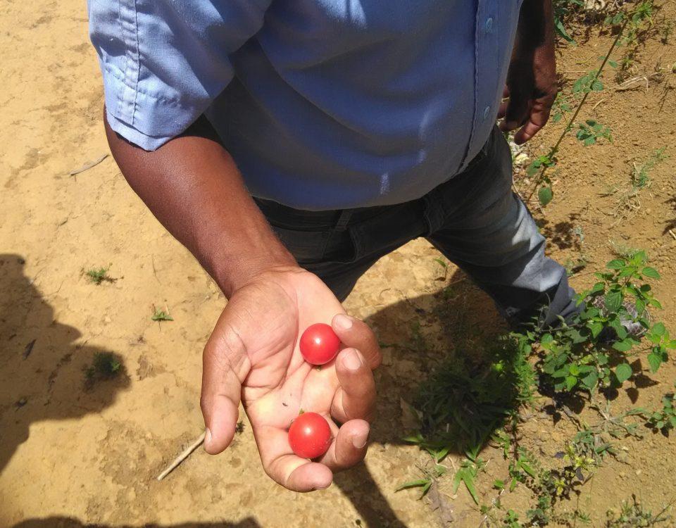 Tomate é uma das frutas cultivadas pelo agricultor (Foto: Pedro Vilas Boas)